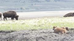 Buffalos in the Mud Stock Footage