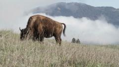 Buffalo on a Scenic Hill Stock Footage