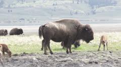 Grazing Buffalo Family Stock Footage