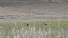 Geese in a Field Stock Footage