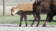 Baby Buffalo and Mother Stock Footage