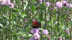 Peacock-butterfly (Inachis io)  on  thistle blossom Stock Footage