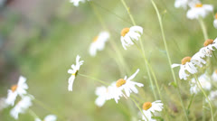 Field of daisies Stock Footage