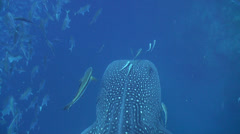 Whale shark Stock Footage