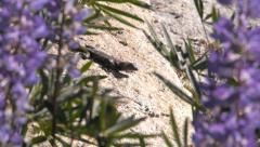 lizard at yosemite - stock footage