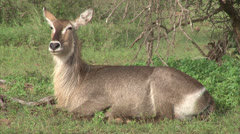 Watching female Waterbuck antelope Stock Footage