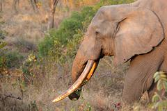 African elephant tusker Stock Photos