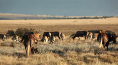 Blesbok antelopes and wildebeest grazing Stock Footage