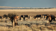 Stock Video Footage of Blesbok antelopes and wildebeest grazing