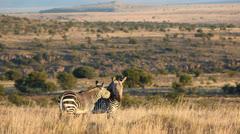 Cape Mountain Zebras Stock Footage