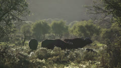 Grazing African buffaloes Stock Footage