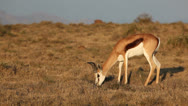 Stock Video Footage of Grazing springbok antelope