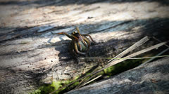 Rimmed hunting spider - Cocoon Stock Footage
