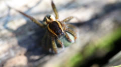 Rimmed hunting spider - macro Stock Footage