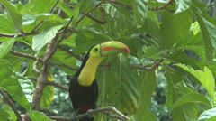 Toucan sits on a Noni tree branch. Stock Footage