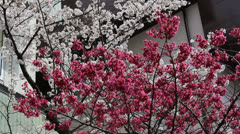 Red and white cherry blossoms in Tokyo Stock Footage