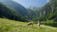 Stock Video Footage of Cows in Austrian Alps