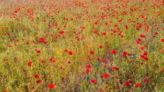 Poppy Field Stock Footage