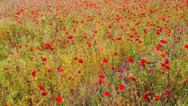 Stock Video Footage of Poppy Field