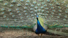 beautyful peacock - stock footage