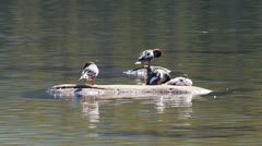Merganser ducks Stock Footage