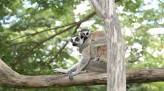 Lemur and her baby Stock Footage