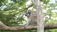 Stock Video Footage of lemur and her baby