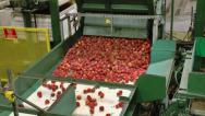 Stock Video Footage of Freshly picked Peaches being processed in packing plant