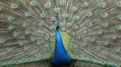 close up peacock dancing - stock footage