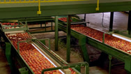 Stock Video Footage of Freshly picked Peaches moving down conveyors