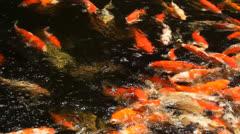 fancy carp in the pool - stock footage