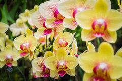 Stock Photo of phalaenopsis, orchid