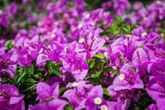 Bougainvillea or paper flower Stock Photos