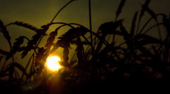 Stock Video Footage Oneiric Sunset With Field Of Wheat Ears - stock footage