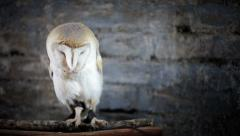 White owl trying to scape Stock Footage