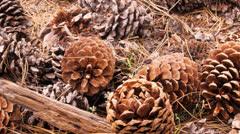Pine cones Stock Footage