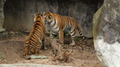 Tigers are fighting1 Stock Footage