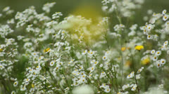 Wild flowers in the wind Stock Footage