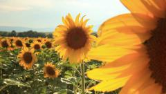 Sun flowers with camera movement Stock Footage