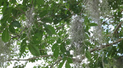Moss in trees Stock Footage