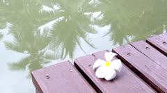 Falling frangipani on the wooden bridge beside the river Stock Footage