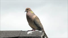 Mourning Dove sunny golden shine Stock Footage