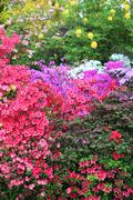 vibrant display of purple, white and red azaleas - stock photo