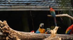 Macaw playing on the branch. Stock Footage