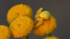 Goldenrod crab spider with prey Stock Footage