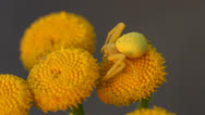 Stock Video Footage of Goldenrod crab spider with prey