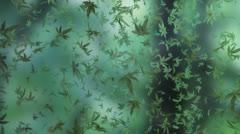 Marijuana heavy rain Stock Footage