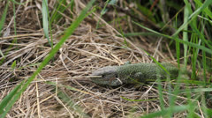 Lacerta reptile moving on grass Stock Footage
