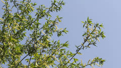 Spring branches with green leaf in wind breeze Stock Footage