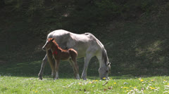 Baby horse and mother horse on spring meadow Stock Footage